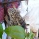 Jacomo our Desert Spiny Lizard and Yoga Guru of Tucson (Sceloporus magister)