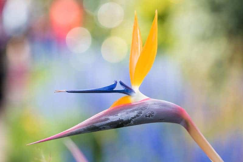 yoga bird of paradise